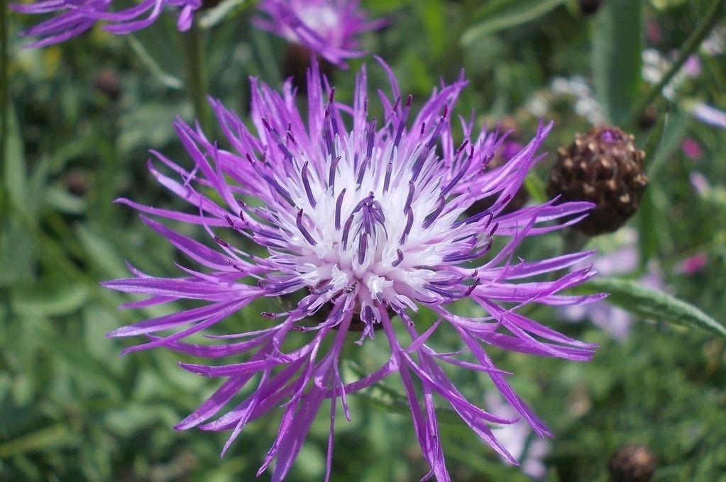 Centaurea jacea seed