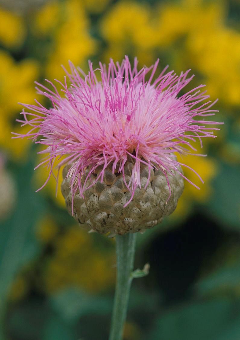 Centaurea scabiosa seed