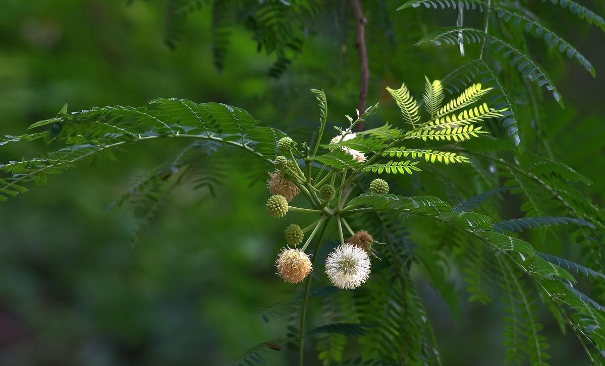 Desmanthus illinoensis seed