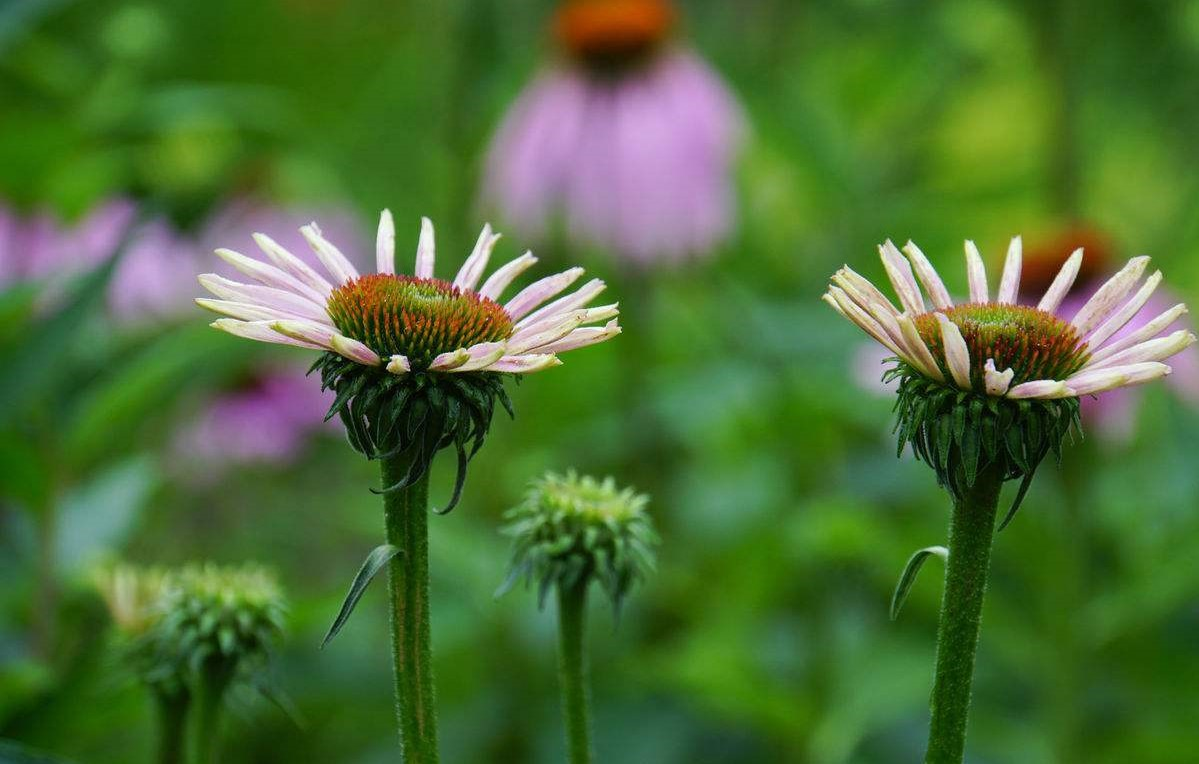 Echinacea pallida seed