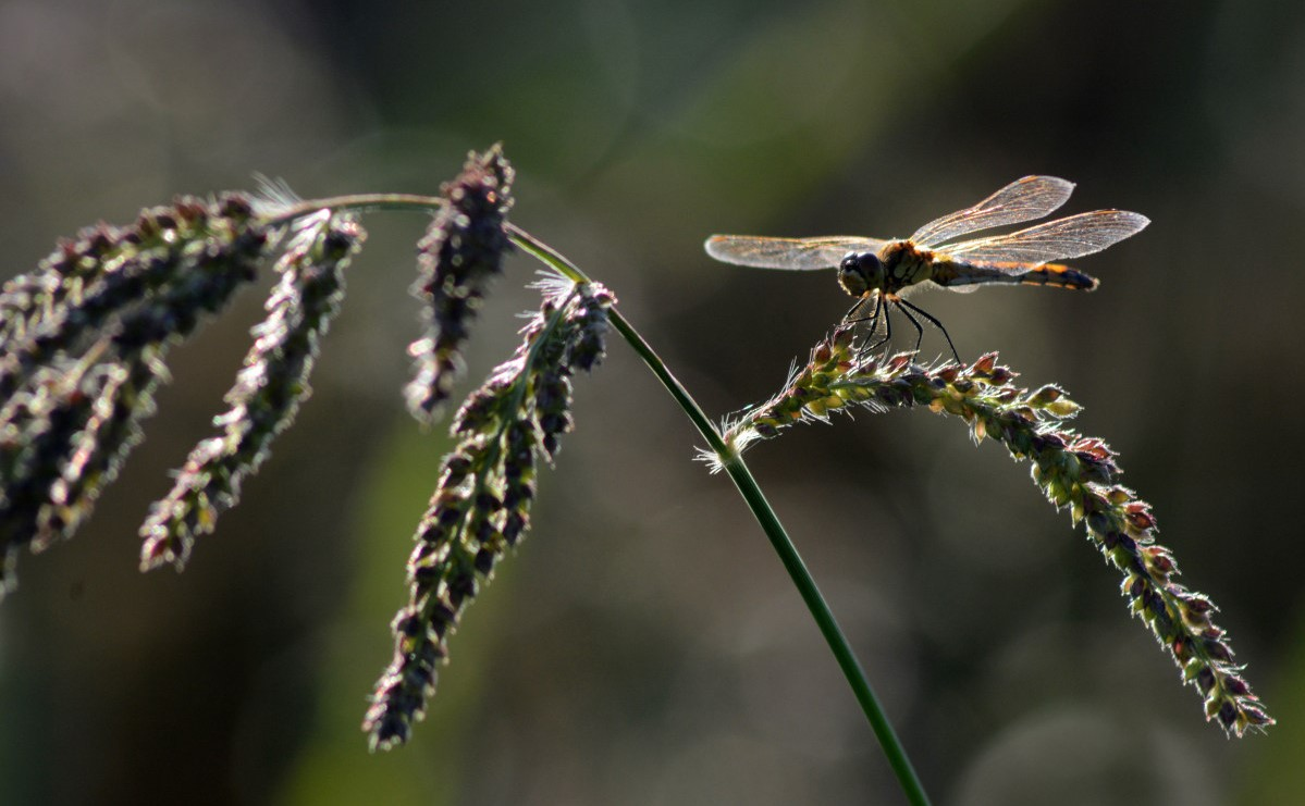 Echinochloa crus-galli seed