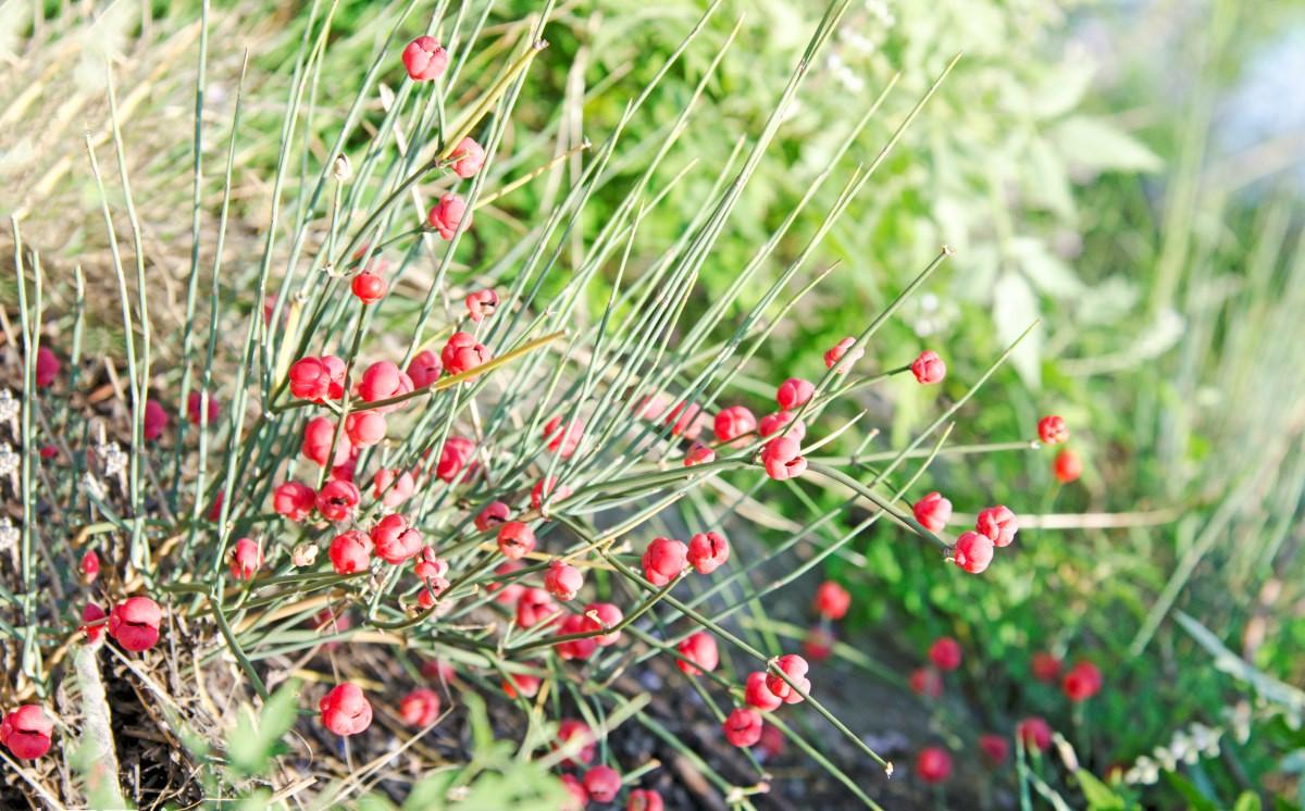 Ephedra intermedia seed