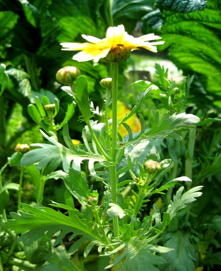 Glebionis segetum seed