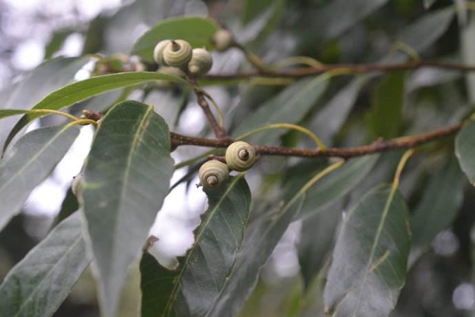 Quercus kerrii seed