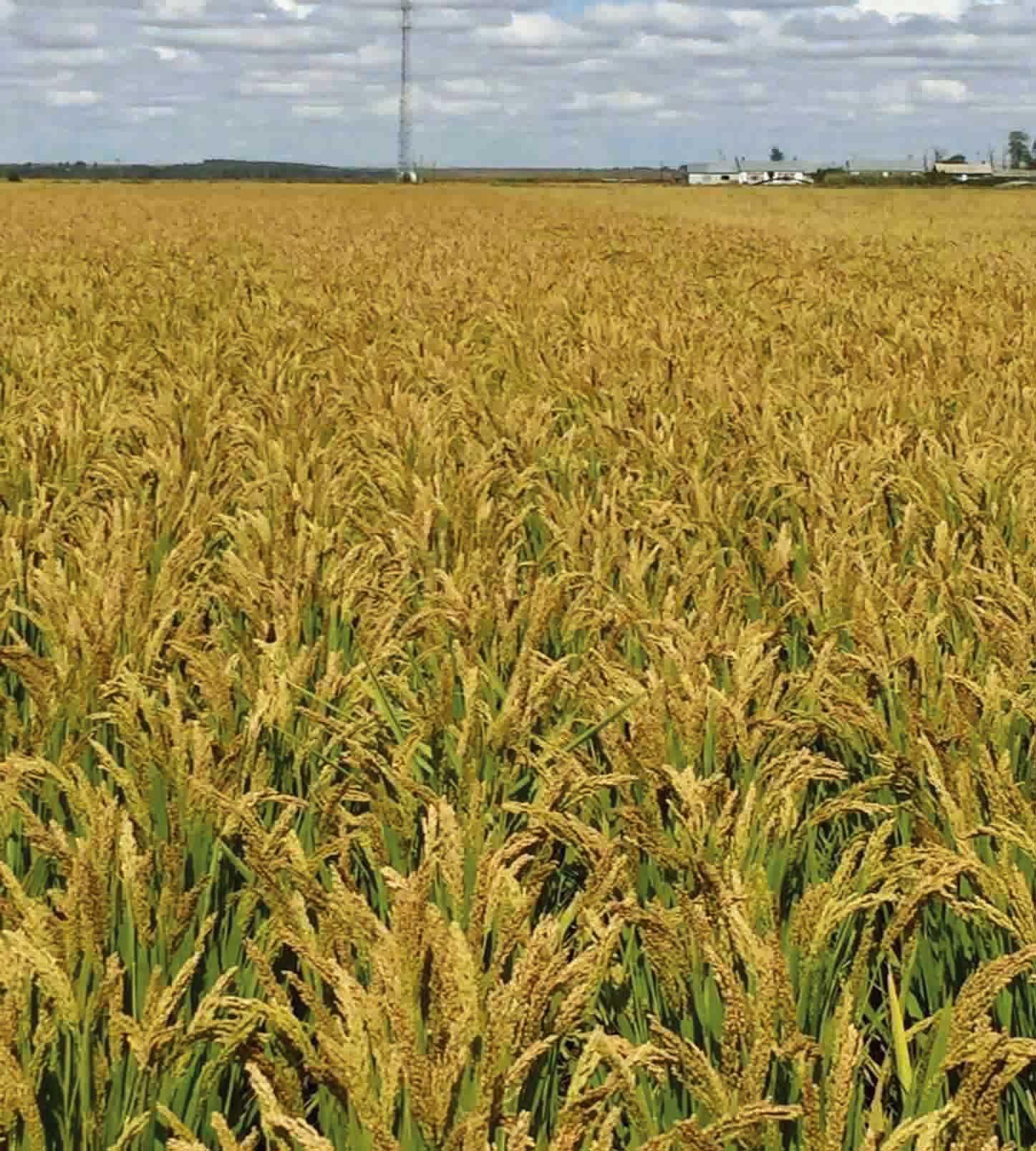 Basmati rice seed