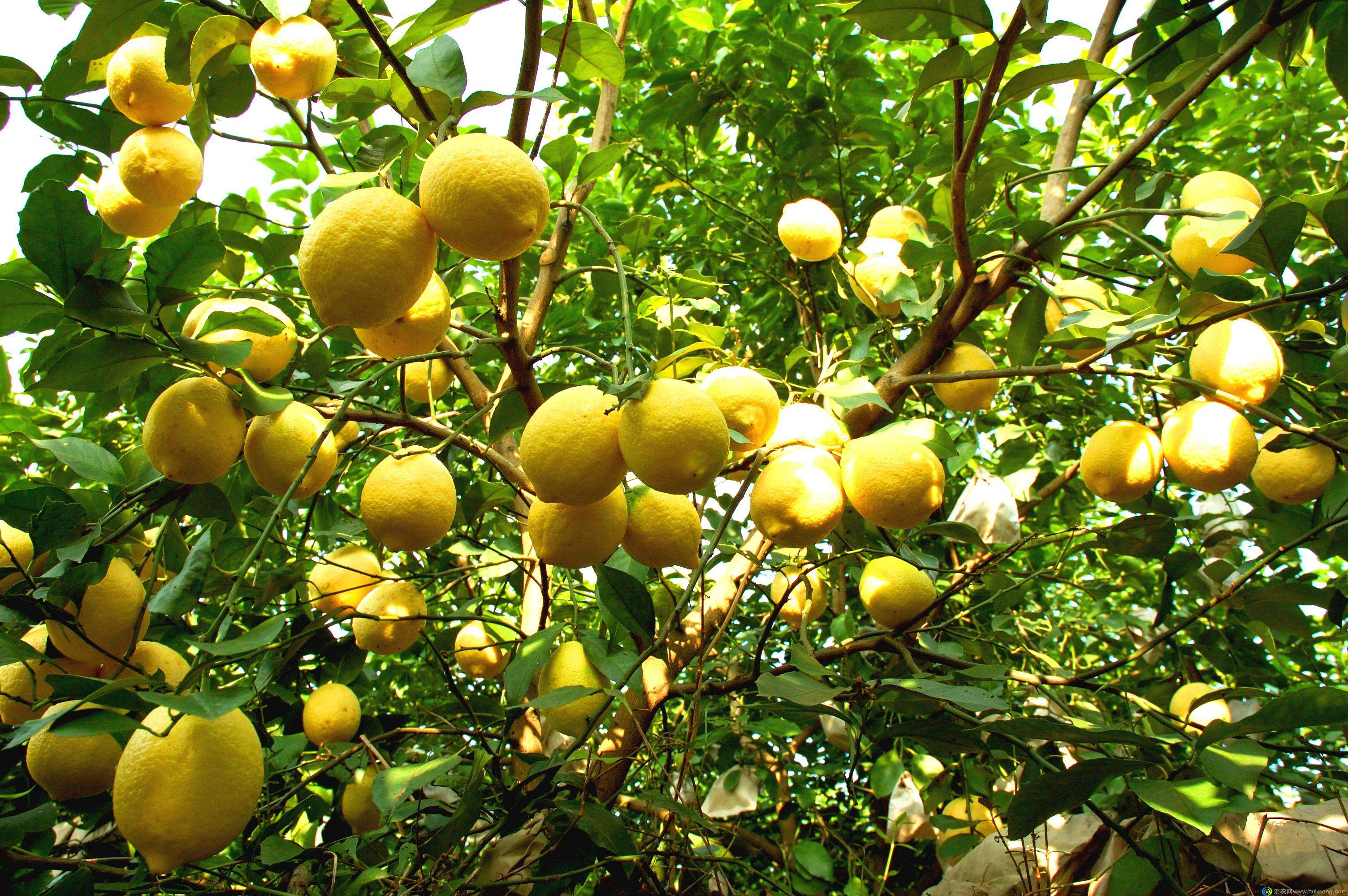 Lemon seed(Citrus limon)