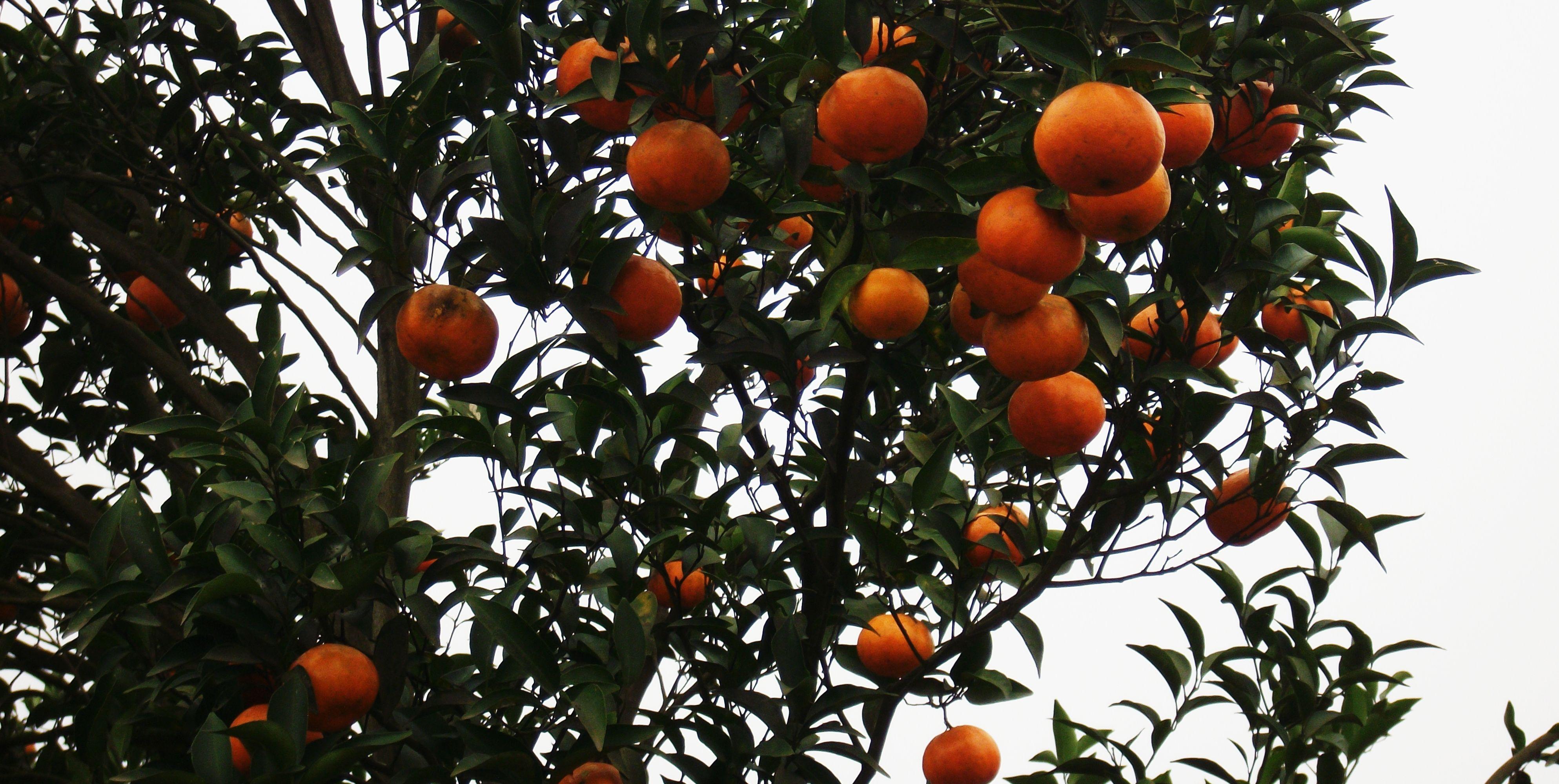 Mandarin orange seed