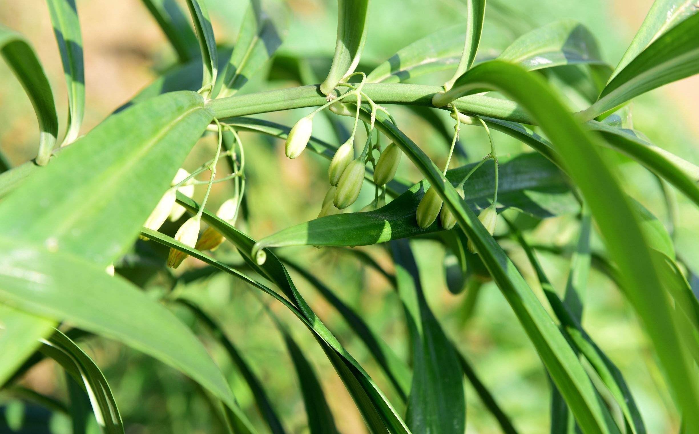 Polygonatum sibiricum seed