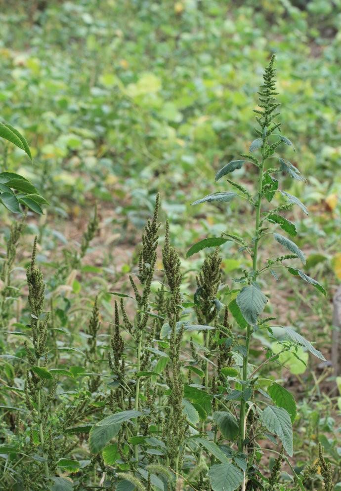 Amaranthus retroflexus seed