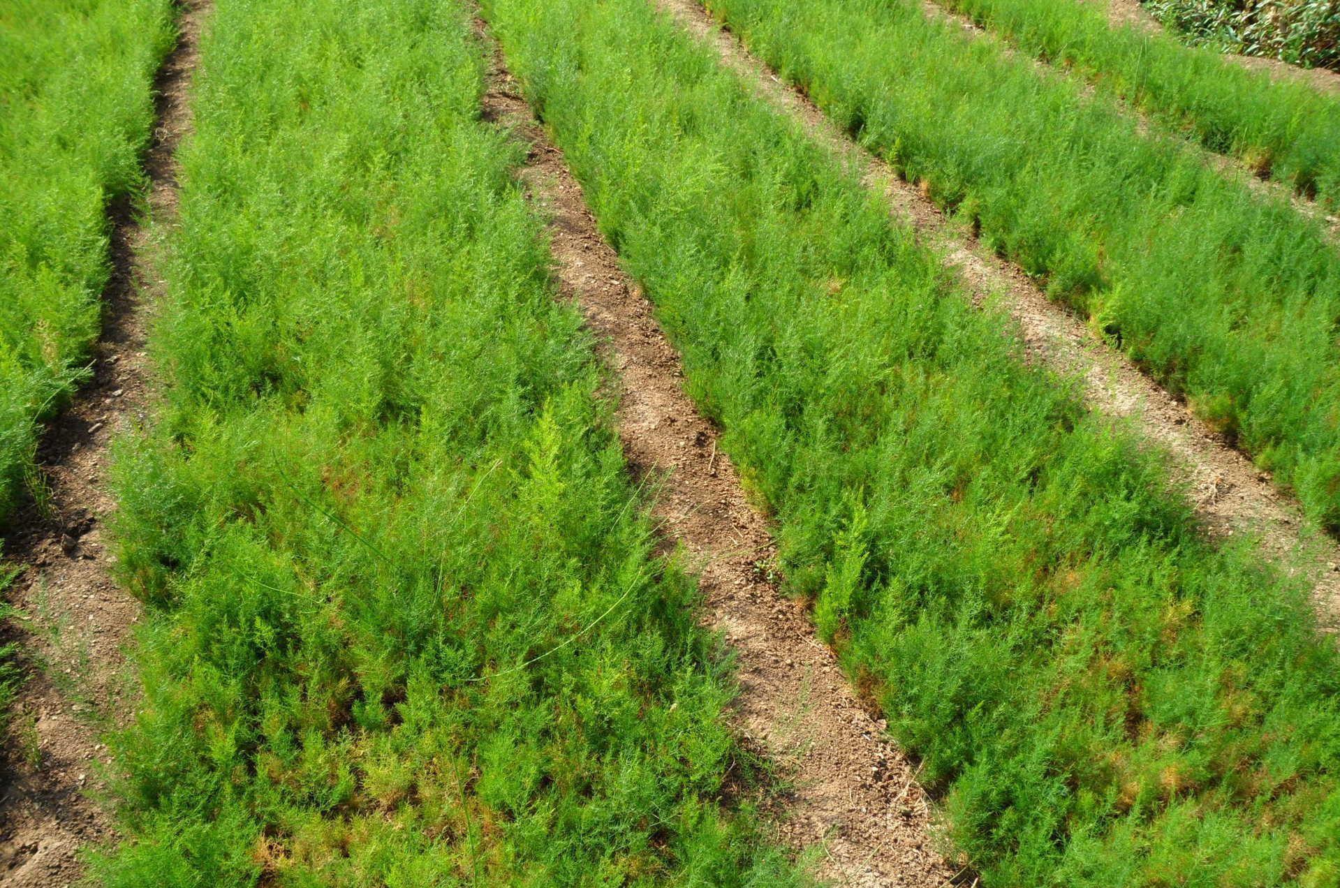 Asparagus densiflorus seed