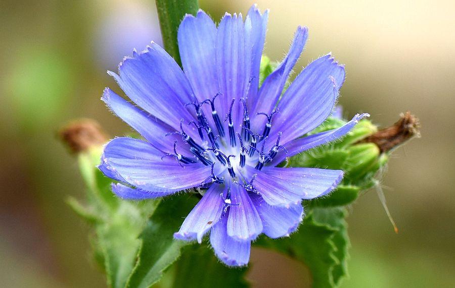 Cichorium endivia seed