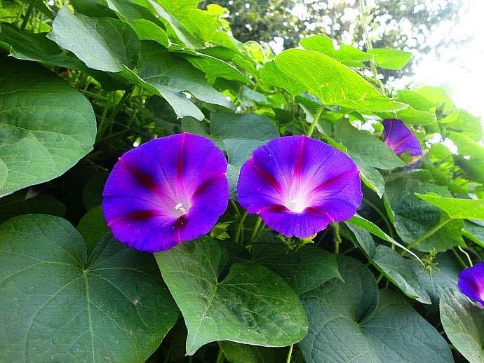 Ipomoea purpurea seed