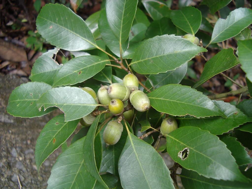 Quercus myrsinifolia seed