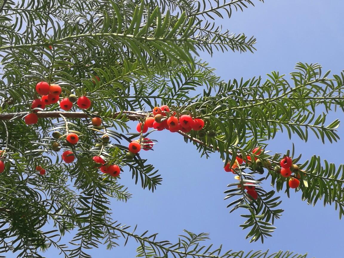Taxus wallichiana seed