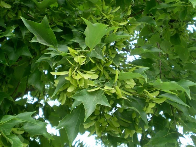 Acer buergerianum seed