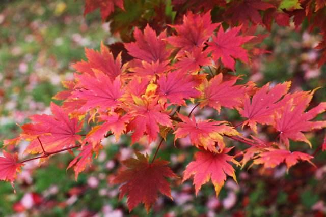 Acer pseudosieboldianum seed
