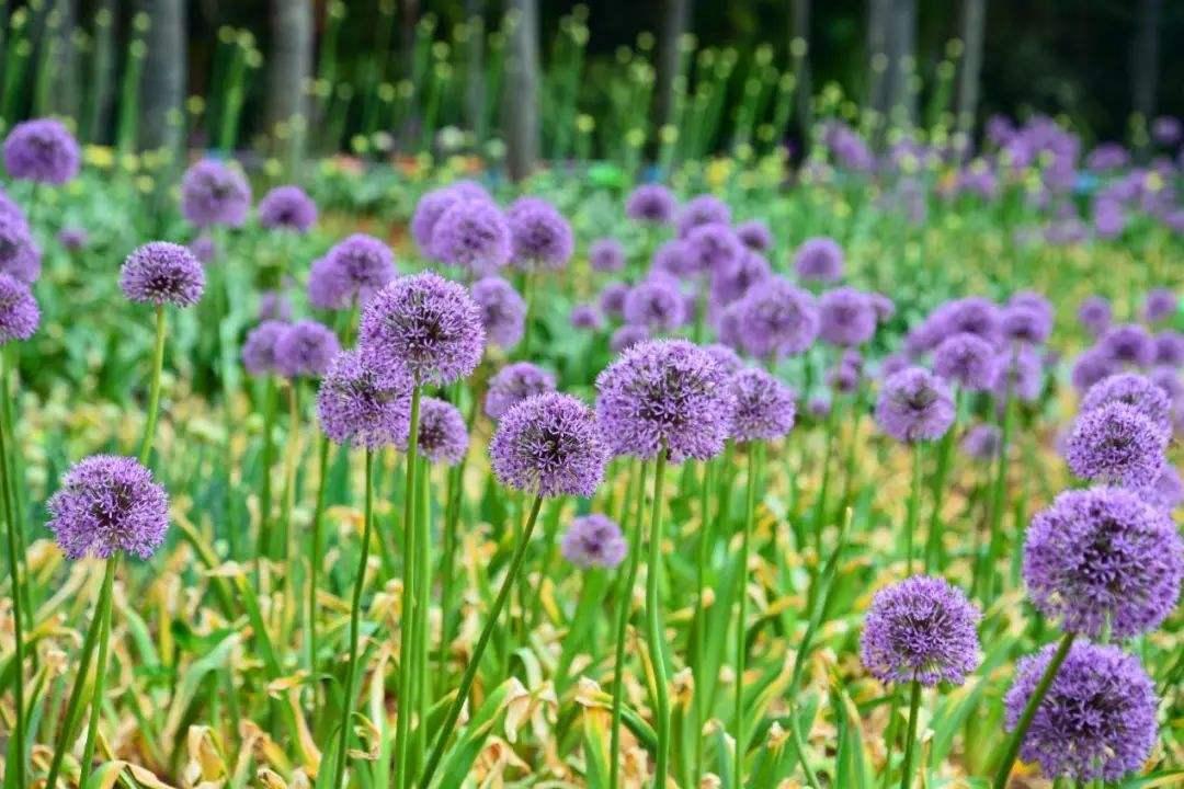 Allium giganteum seed
