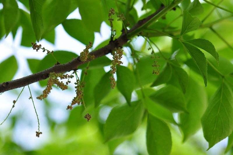 Bischofia polycarpa seed