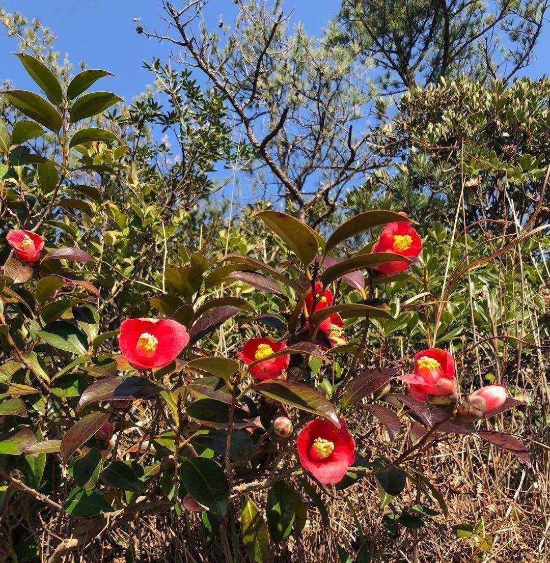 Camellia Crassicolumna seed