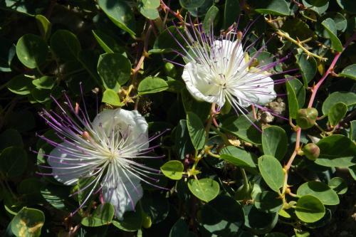 Capparis himalayensis seed