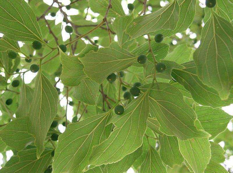 Celtis sinensis seed