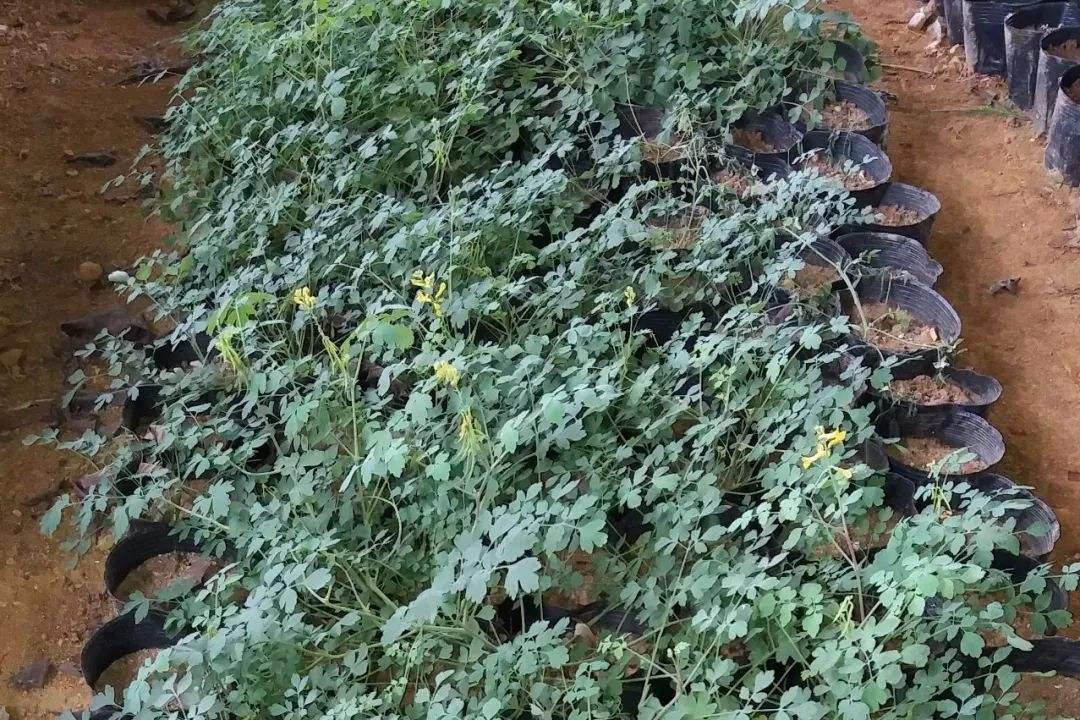 Corydalis saxicola Bunting seed