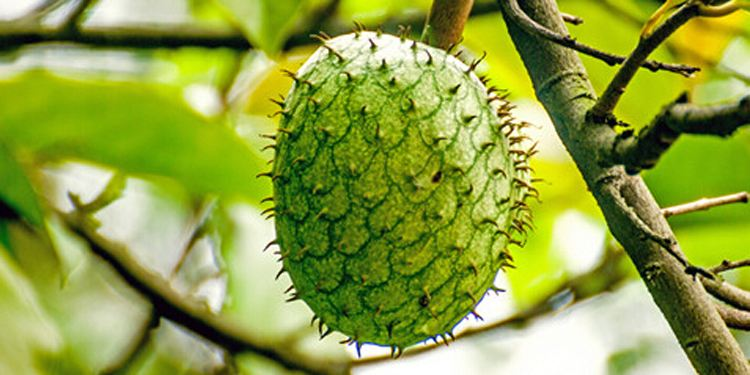 Cucumis metuliferus seed