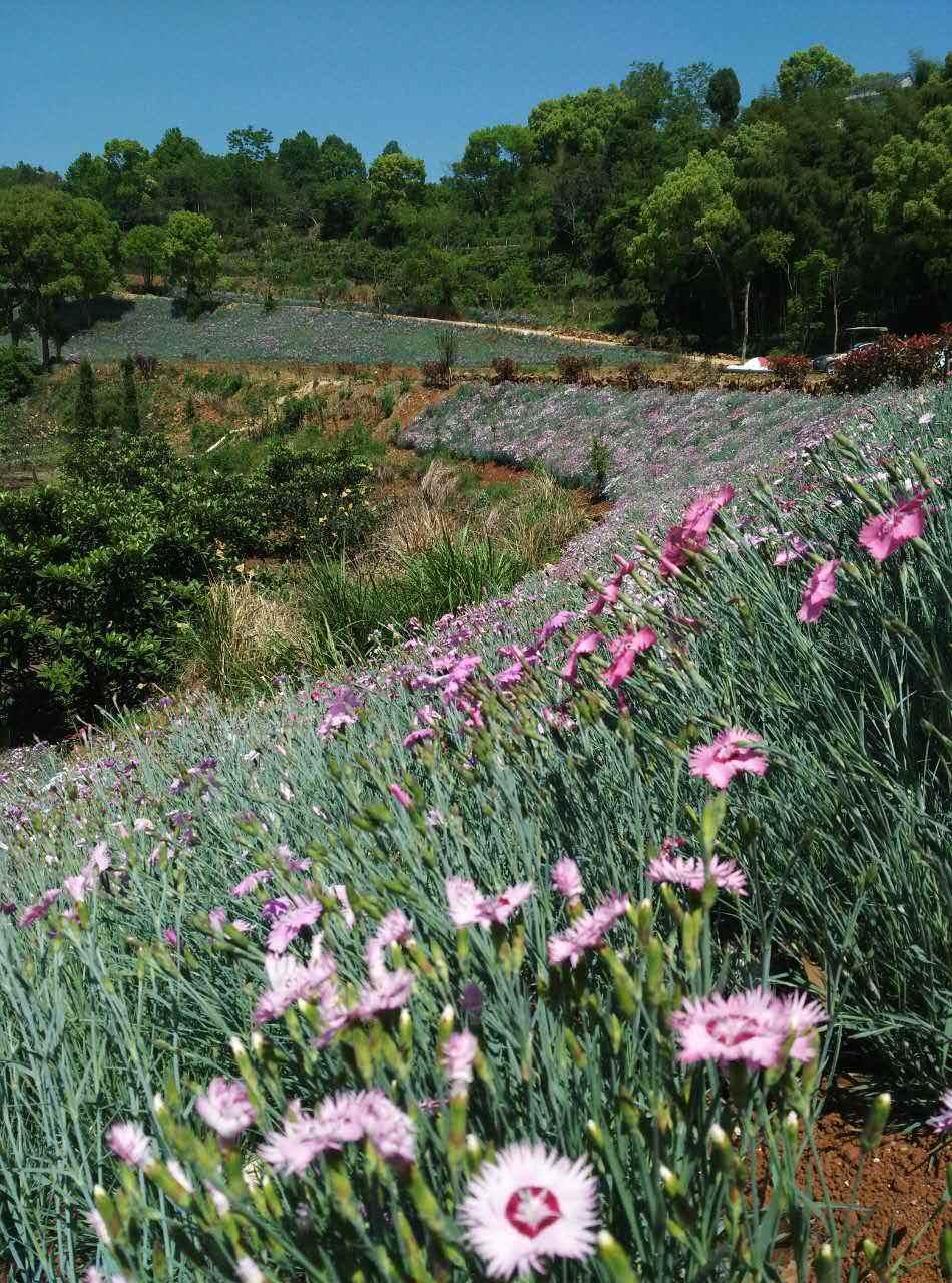 Dianthus plumarius seed