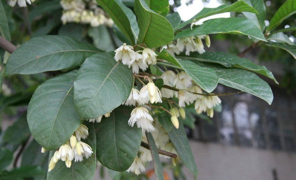 Elaeocarpus braceanus seed