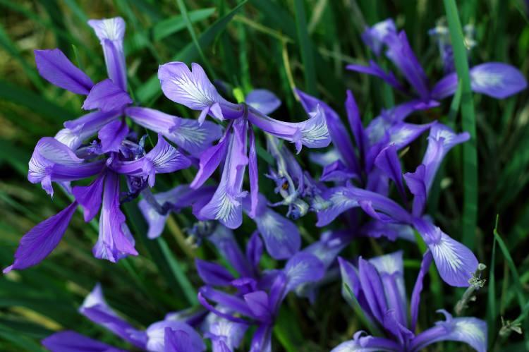 Iris ensata seed