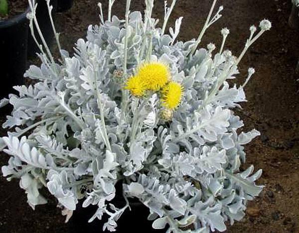 Jacobaea maritima seed