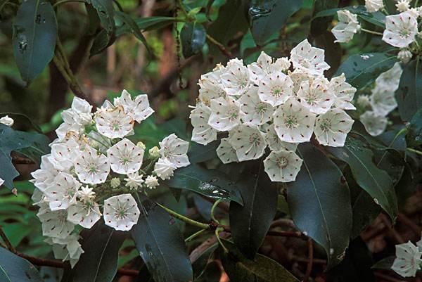 Kalmia latifolia seed