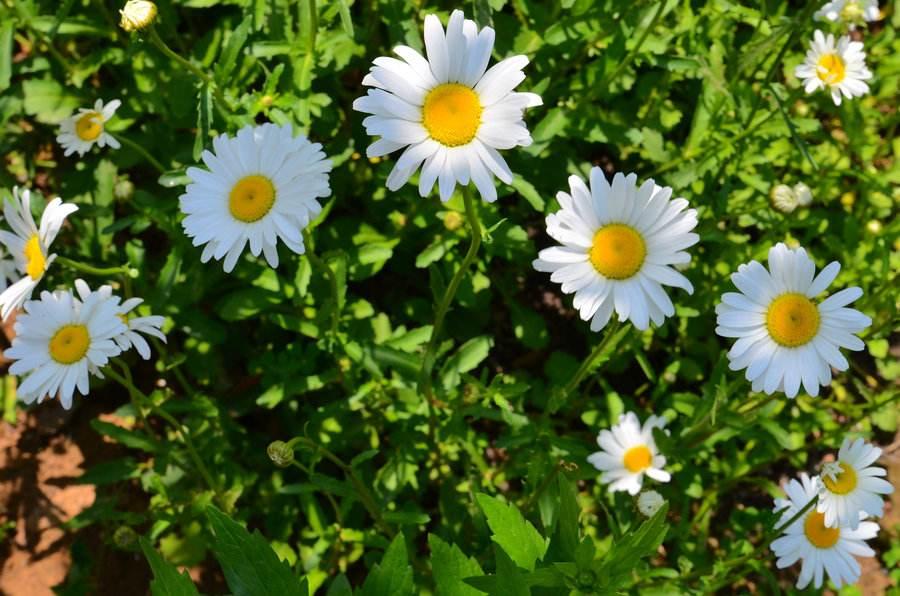 Leucanthemum maximum seed
