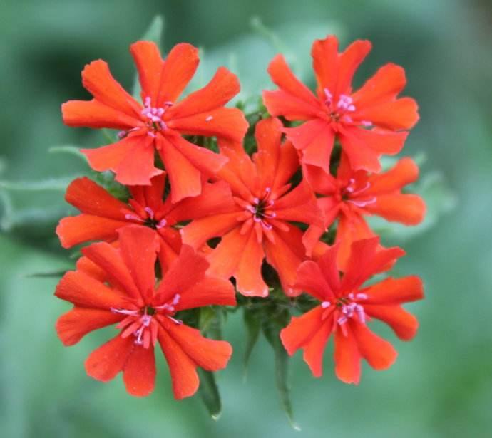 Lychnis fulgens seed