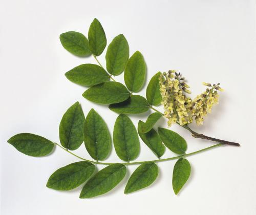 Maackia chinensis seed