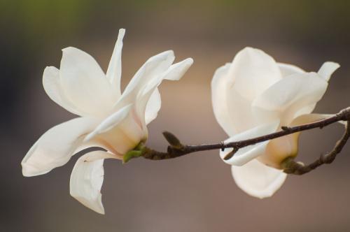 Magnolia denudata seed