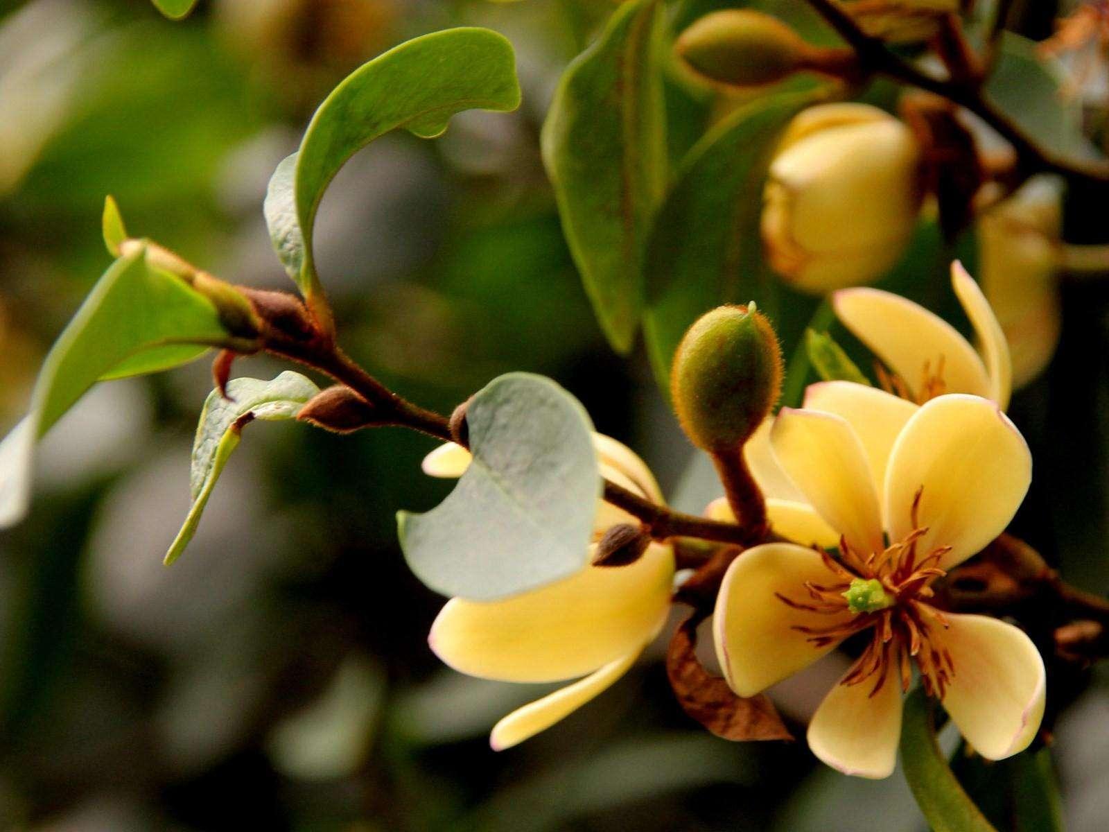 Michelia figo seed