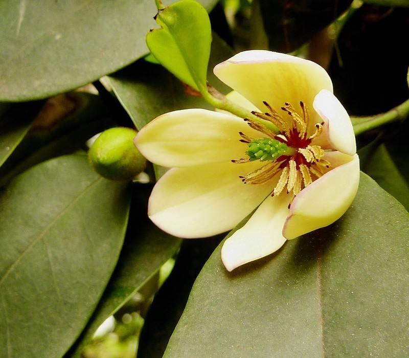 Michelia macclurei seed