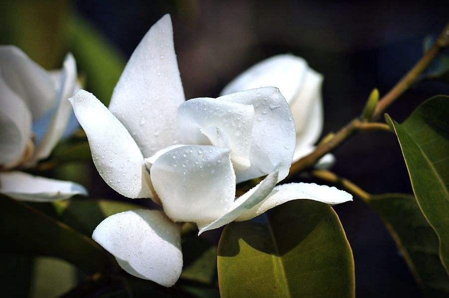Michelia maudiae seed