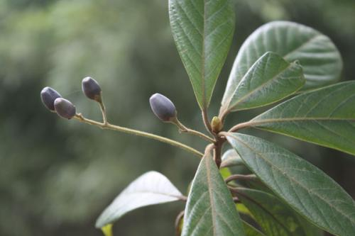 Phoebe chinensis seed