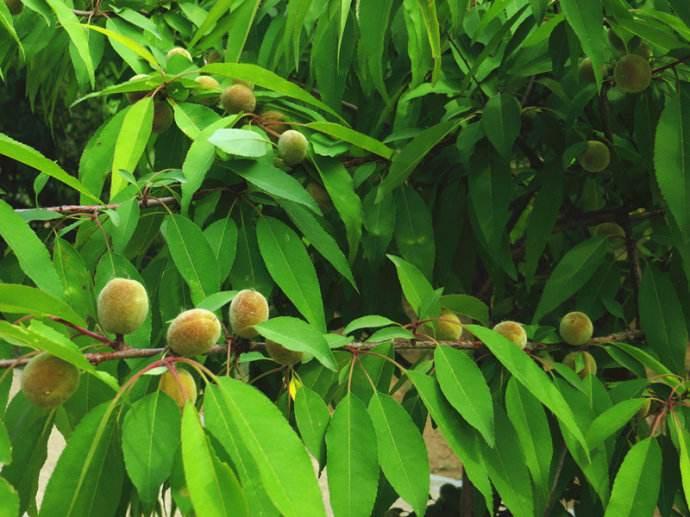 Prunus davidiana seed