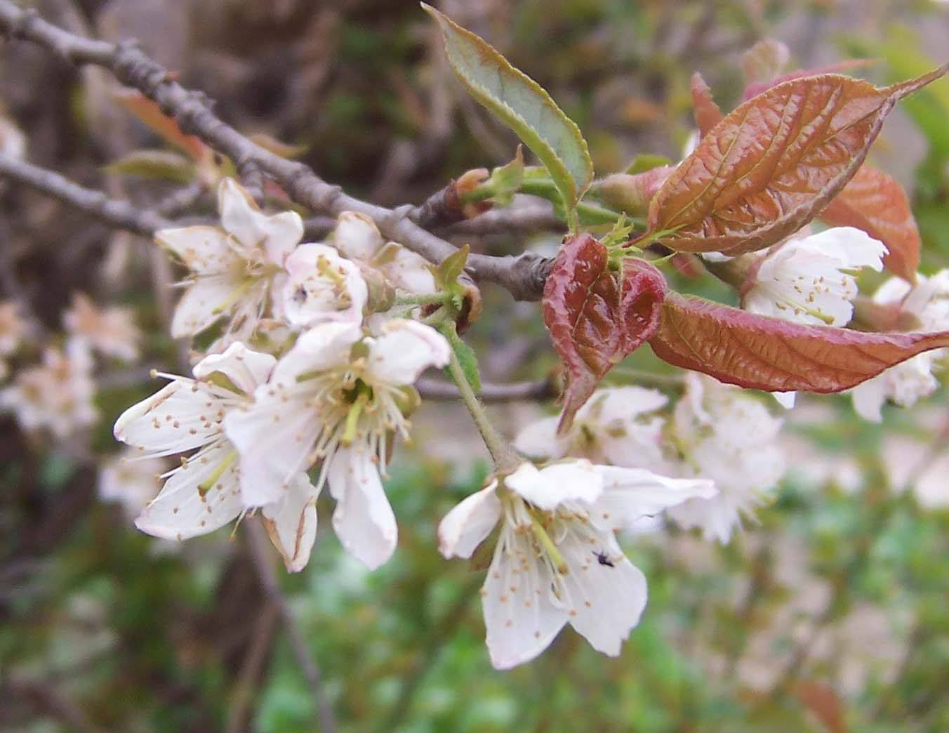 Prunus prostrata seed