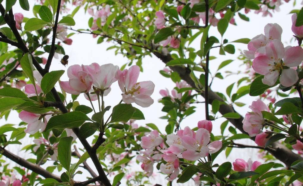 Prunus pseudocerasus seed