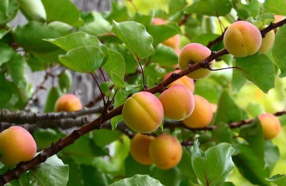 Prunus sibirica seed