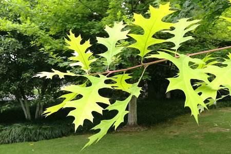 Quercus texana seed