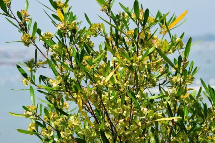 Salix myrtillacea seed