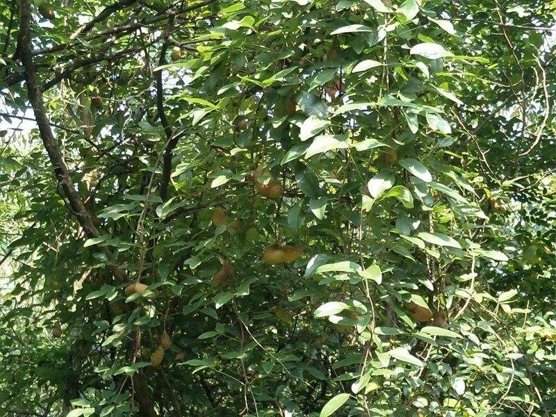 Stauntonia latifolia seed