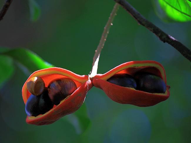 Sterculia monosperma seed