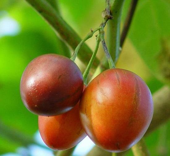 Tamarillo seed