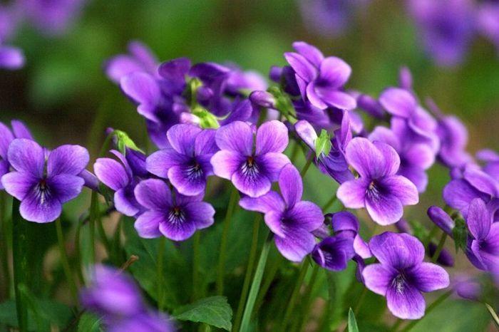 Viola philippica seed